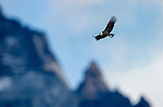 Andean Condor (Vultur gryphus). Torres del Paine National Park, Chilean Patagonia, Chile.