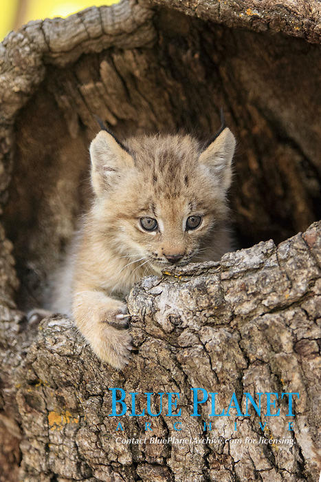 Canadian Lynx (Lynx canadensis), eight-weeks old cub, in hollow tree trunk, captive, Montana, USA, North America
