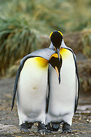 King penguins (Aptenodytes patagonicus), South Georgia Island