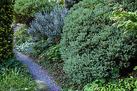 Veronica (Hebe) topiaria in foreground, Salix repens var. argentea behind and Arctostaphylos 'Sunset' behind salix in Elisabeth Miller Botanical Garden