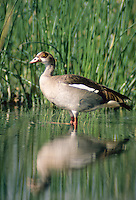 Nilgans, Nil-Gans, Alopochon aegyptiacus, Egyptian goose