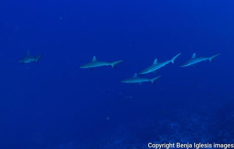 A few juvenil grey sharks over shark condos Maui hawaii Molokini
