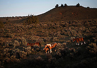 A small band grazes a hillside in South Steens wild horse herd located south of Frenchglen, Oregon.  The high desert country has rocky surfaces divided by deep canyons, rim rocks and plateaus. <br /> <br /> There are around 200 horses with lots of color--pinto, sorrel, bay palomino, brown, black, red roan and dun.  This band of 18 is divided into several groups. Many young studs are coming of age and there were small challenges for dominance as the mares come into season. They drink at the waterhole and eat salt from the ground where they have carved out holes from an old lick.