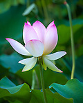 Washington, District of Columbia<br /> Lotus (Nelumbo nucifera) blossoms in the lotus pond of the Kenilworth Park and Aquatic  Gardens
