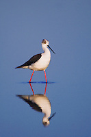 Black-winged Stilt, Himantopus himantopus, adult, National Park Lake Neusiedl, Burgenland, Austria, Europe