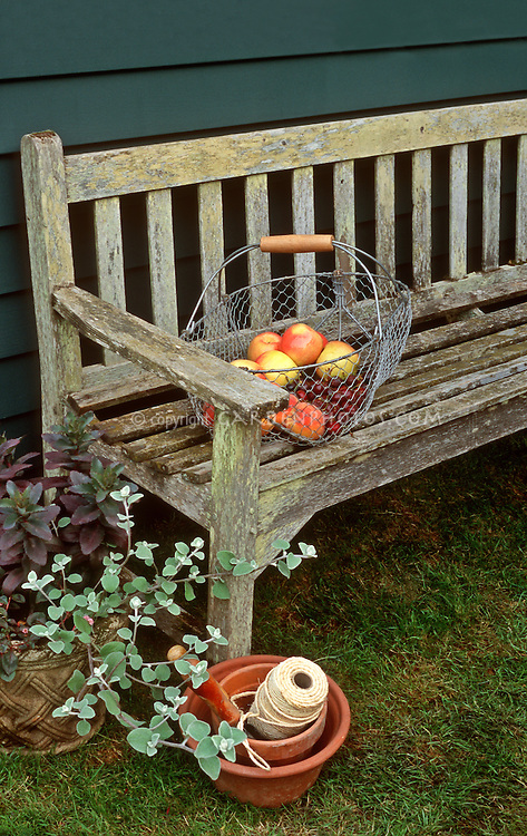 Garden Bench, Basket of heirloom Apples peaches cherries mixed fruit Malus harvest crop, Ball of string twine, licorice plant helichyrsum, charming scene