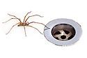 Male House Spider {Tegenaria sp.} next to plug hole. Derbyshire, September.