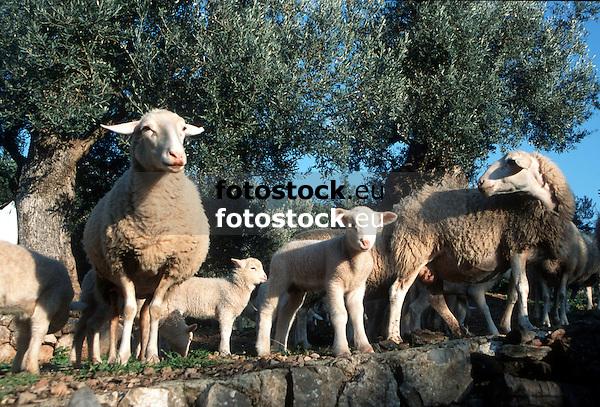 Sheep and lambs on an olive terrace near Sóller<br /> <br /> Ovejas y corderos en una teraza de olivos cerca de Sóller<br /> <br /> Schafe und Lämmer auf einer Oliventerrasse in der Nähe von Sóller<br /> <br /> 2571 x 1742 px<br /> Original: 35 mm slide transparancy