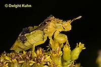 AM01-606z  Ambush Bug adult on goldenrod, Phymata americana