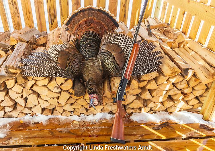 Remington 1100 12 gauge semi-automatic shotgun and a harvested spring turkey.