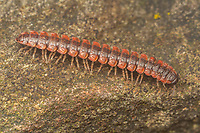 A Flat-backed Millipede (Pseudopolydesmus canadensis) crawls over a rock.