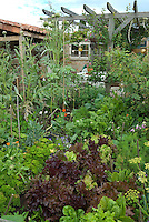 Vegetable garden near patio with trellis arbor, lettuces, carrots, herbs, artichokes, wide view scene