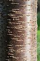 Trunk and bark of winter cherry (Prunus subhirtella 'Autumnalis'). Also known as the autumn-flowering or rosebud cherry.