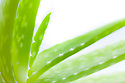 Aloe vera plant photographed against a white background. The clear gel that oozes from broken leaves of Aloe vera has traditionally been used to sooth a range of skin conditions including flaky or dry skin and burns. website