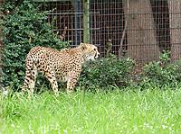 Gepard - Jaderberg 21.07.2020: Tier- und Freizeitpark Jaderpark