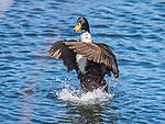 Splashing mallard duck.