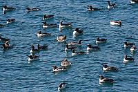 Trottellumme, Trupp schwimmt auf der Meeresoberfläche, Trottel-Lumme, Lumme, Uria aalge, guillemot, common murre