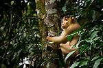 Southern Pig-tailed Macaque (Macaca nemestrina) male, Tabin Wildlife Reserve, Sabah, Borneo, Malaysia