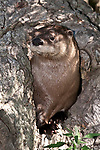 river otter hiding in hollow log