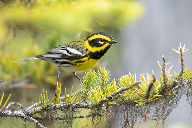 Townsend's Warbler (Setophaga townsendi). Deschutes County, Oregon. May.