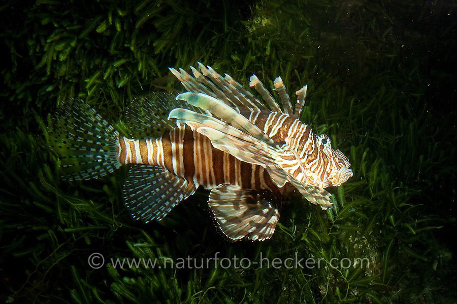Rotfeuerfisch, Pazifische Rotfeuerfisch, Pazifik-Rotfeuerfisch, Pterois volitans, red lionfish, red firefish, lionfish, devil firefish, fireworkfish, firefishes, turkeyfishes