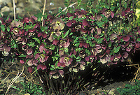 Helleborus orientalis subsp. abchasicus Early Purple Group in flower, showing large clump of plant with red magenta blooms