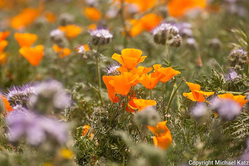 Poppies, Antelope Valley