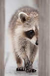 Ding Darling National Wildlife Refuge, Sanibel Island, Florida; a juvenile Raccoon (Procyon lotor) walks directly towards the camera on the deck of the ramp up to the observation tower © Matthew Meier Photography, matthewmeierphoto.com All Rights Reserved