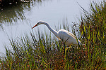 Egret stalking its prey, Upper Newport Bay, CA.