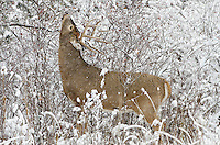 White-tailed Deer buck (Odocoileus virginianus) feeding on wild rose hips during snowstorm, Western U.S., Late Fall.