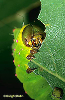 LE12-100x   Luna Moth - caterpillar feeding, close-up of face - Actias luna
