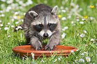 """Waschbär, verwaistes, pflegebedürftiges, in Menschenhand gepflegtes, zahmes, etwa 2 Monate altes Jungtier spielt mit einem Stein in Wasserschale, lernt spielerisch das Element Wasser kennen, Tierkind, Tierbaby, Tierbabies, Waschbaer, Wasch-Bär, Procyon lotor, Raccoon, Raton laveur, """"Frodo"""""""