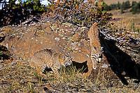 Bobcats (Lynx rufus).  Western U.S..