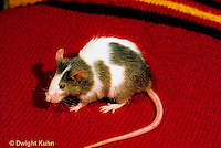 MU50-010x  Pet Mouse
