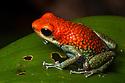Granular Poison Frog {Oophaga granulifera}Drake Bay, Osa Peninsula, Costa Rica, May.
