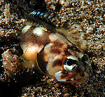 "unknown Jawfish;Here's a quote from Dr. Smith-Vaniz..opistognathus xxx <br /> ""Your jawfish is a species of the genus Stalix. I revised the genus in 1989 when I described four new species of the then 12 total known species. Since then about six more undescribed species have been collected and I am in the process of writing another paper treating all of them. I have seen a few other photographs of the Lembeh Straits Stalix, which is probably most closely related to S. histrio (described from Japan). So far I have only seen photographs of this fish and no specimens have been collected to allow a detailed comparison.<br /> <br /> William F. Smith-Vaniz, Ph.D.<br /> Research Associate<br /> Florida Museum of Natural History<br /> University of Florida"" <br /> https://www.facebook.com/photo.php?fbid=4314049379581&set=gm.342799719139610&type=1&theater -But this was photographed at the Pier in Anilao on 4-29-12- butr supposedly comes from Lembeh."
