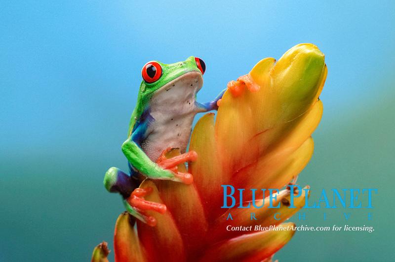 Red-eyed Tree Frog, male (Agalychnis callidryas)