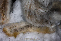 MA19-561z  Snowshoe Hare large hind leg used to run on top of snow,  Lepus americanus