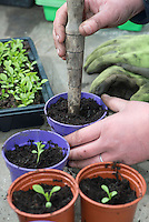 Planting Lady Penelope Asters in a greenhouse, Chipping, Lancashire.