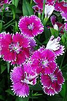 Flores. Cravina (Dianthus chinensis). SP. Foto de Manuel Lourenço.
