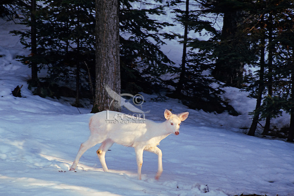 Albino white-tailed deer (Odocoileus virginianus) doe in winter snow.  Great Lakes region.
