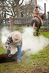 """Cattle marking and branding with the Dell""""Orto family in the Sierra Nevada Foothills of California. (Mattley Barn)..Stan Dell'Orto and Gabrielle Emerson..**usage by any anti-livestock individual, group, publication, websites, e-mail or anything similar is prohibited."""