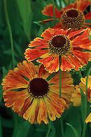 Helenium 'Sahin's Early Flowerer' (Sneezeweed)
