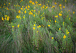 Blue Mounds State Park; Minnesota:<br /> Detail of Goldenrod (solidago) and native grasses in a tallgrass prairie