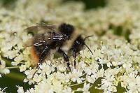 Pyrenäen-Hummel, Pyrenäenhummel, Bombus pyrenaeus, Pyrobombus pyrenaeus