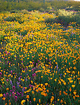 Organ Pipe Cactus Natl Mon, AZ <br /> Field of Poppies (Esch. californica) and desert wildflowers