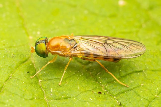 Soldier Fly (Sargus elegans)