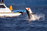 great white shark, Carcharodon carcharias, shark breaches on Cape fur seal at Seal Island, tourist boat looks on, False Bay, South Africa, Atlantic Ocean