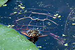Painted turtle hiding behind lily pad