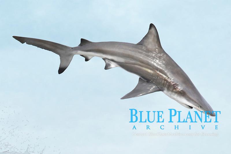 spinner shark, Carcharhinus brevipinna, jumping, digital illustration